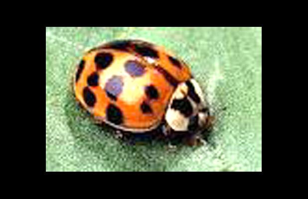 Ladybug video asian